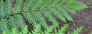 fronds of giant chain fern